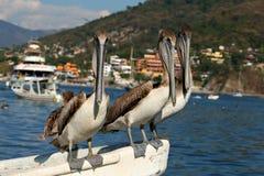 трио пеликана Стоковая Фотография
