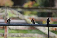 Трио птиц ласточки Стоковые Изображения RF