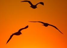 трио чайки Стоковые Изображения