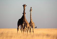 трио giraffe после полудня последнее светлое Стоковое фото RF