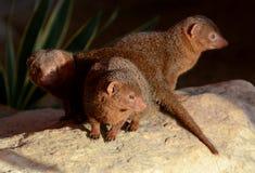 трио mongoose карлика Стоковые Изображения