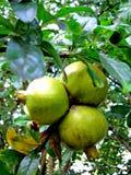 трио pomegranate Стоковое Изображение