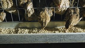 Триперстки в клетках на птицеферме во время подавать видеоматериал