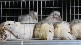 Триперстки в клетках на птицеферме акции видеоматериалы