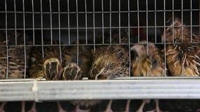 Триперстки в клетках на птицеферме видеоматериал
