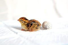 триперстки цыпленока Стоковое Изображение
