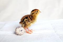 триперстки цыпленока Стоковые Изображения