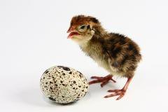 триперстки яичка цыпленка Стоковая Фотография RF