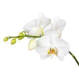 Тридневная старая белая орхидея изолированная на белой предпосылке стоковая фотография