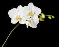 Тридневная старая белая орхидея на черной предпосылке стоковое фото