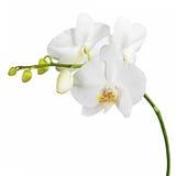 Тридневная старая орхидея изолированная на белой предпосылке стоковая фотография