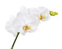 Тридневная старая орхидея изолированная на белой предпосылке стоковые изображения rf
