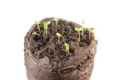 Тридневные саженцы snapdragon при 2 зеленых листь семядоли изолированного на белой предпосылке Стоковое Изображение RF