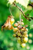 Трогнутые ягоды виноградин сада стоковое фото