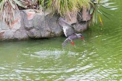 Тройка Inca & x28; Inca& x29 Larosterna; запятнанный outdoors летать на пруд Стоковые Фото
