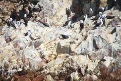 Тройка Inca, inca Larosterna, на скале, Paracas, Перу Стоковые Фотографии RF