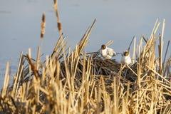 Тройки разводят в гнезде сделанном из тростника стоковые изображения