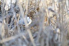 Тройки разводят в гнезде сделанном из тростника стоковое изображение