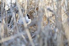 Тройки разводят в гнезде сделанном из тростника стоковые фотографии rf