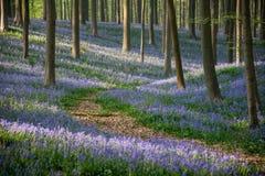 Тропа в голубых колоколах лесе, Hallerbos, Бельгии Стоковая Фотография