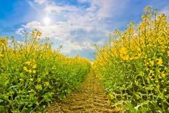 Тропа в желтом поле Стоковое Фото