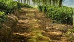 Тропа в plantage чая Стоковое Изображение RF