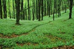 тропа зеленого цвета пущи Стоковые Изображения RF