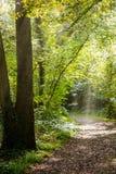 Тропа покрытая листьями в плотном лесе с фильтрованными лучами Стоковое фото RF