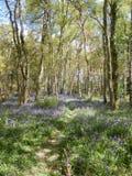 Тропа древесин Bluebell Стоковая Фотография