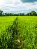 Тропа риса стоковые изображения rf