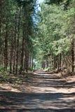 Тропа через древесины ели Стоковое Фото