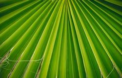 Тропическая ладонь вентилятора Стоковые Фотографии RF
