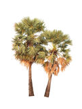 Тропическая ладонь дерева или сахара изолированная на белой предпосылке Стоковая Фотография RF