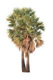 Тропическая ладонь дерева или сахара изолированная на белой предпосылке Стоковые Изображения