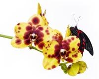 Красивейшая тропическая бабочка Стоковые Фотографии RF