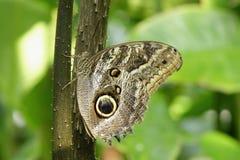 Тропическая бабочка, бабочка сыча Стоковое фото RF