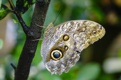 Тропическая бабочка, бабочка сыча Стоковая Фотография RF
