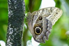 Тропическая бабочка, бабочка сыча Стоковые Фотографии RF
