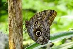 Тропическая бабочка, бабочка сыча Стоковые Изображения