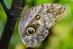 Тропическая бабочка, бабочка сыча Стоковое Изображение