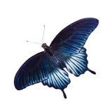Тропическая бабочка Стоковые Фотографии RF