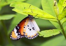 Тропическая бабочка Стоковая Фотография