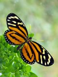 Тропическая бабочка Milkweed Стоковое фото RF