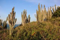 Тропическая вегетация restinga в Рио-де-Жанейро Стоковое фото RF
