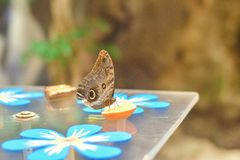 Тропическая голубая бабочка morpho на конце таблицы вверх стоковая фотография rf