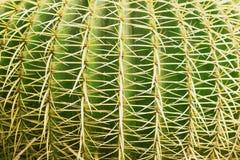 Тропическая естественная зеленая текстура кактуса Абстрактная естественная текстура картины, экзотическая колючая предпосылка Стоковые Изображения