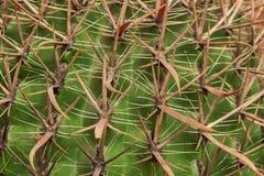 Тропическая естественная зеленая текстура кактуса Абстрактная естественная текстура картины, экзотическая колючая предпосылка Стоковая Фотография RF
