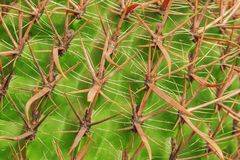 Тропическая естественная зеленая текстура кактуса Абстрактная естественная текстура картины, экзотическая шиповатая предпосылка Стоковое Изображение