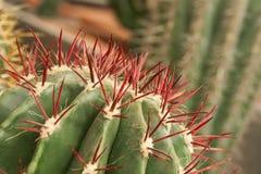 Тропическая естественная зеленая текстура кактуса Абстрактная естественная текстура картины, экзотическая шиповатая предпосылка Стоковая Фотография