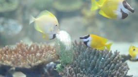 Тропическая еда питания Lo лисы рыб (vulpinus Siganus) видеоматериал
